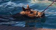 Horse Swimming therapy